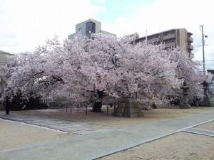 大宮神社 桜